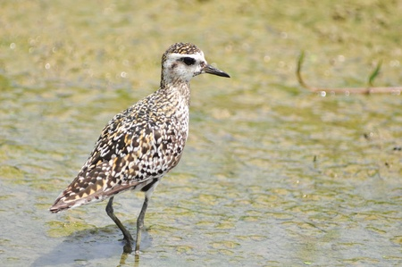 pluvialis: Pacific Golden-Plover (Pluvialis fulva) in Thailand Stock Photo