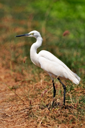 Little Egret  Egretta garzetta  in nature photo