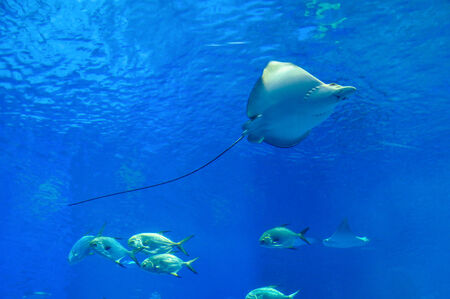 Huge manta ray flying underwater among other fish ,Okinawa ,Japan photo