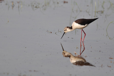 Black-winged Stilt (Himantopus himantopus) in Thailand photo