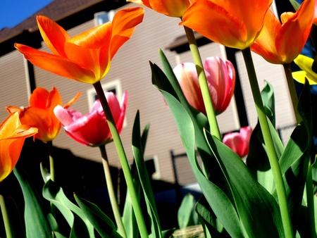 dow's lake: Tulips in the backyard