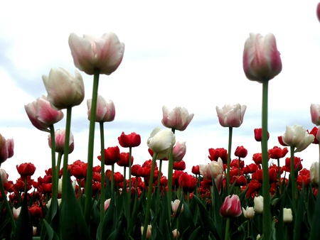 dow's lake: Lovebirds in the centre  white tulips  Stock Photo