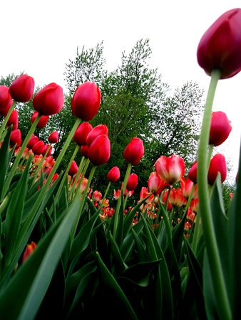 dow's lake: Red Tulips above Stock Photo