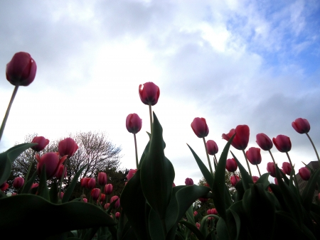 dow's lake: Pink Tulips above