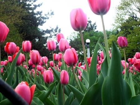 dow: Ottawa Tulip Festival @Dow s Lake, 2013