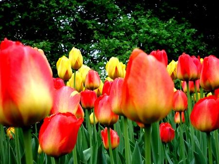 dow's lake: Ottawa Tulip Festival @Dow s Lake, 2013