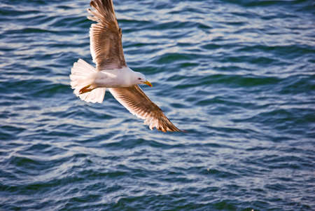 Yellow-legged gull, Larus michahellis, flying over the Atlantic sea with outstretched wings