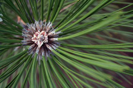 Agujas de pino verde con centro de crecimiento horizontal