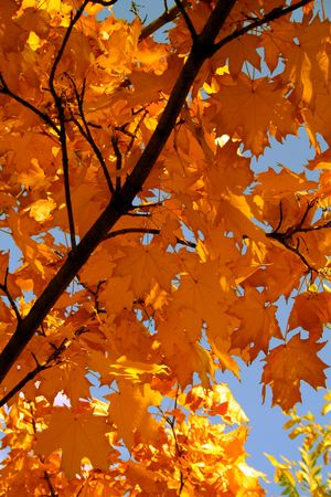 Autumn leaves of a maple of red color on a branch on a background of the blue sky