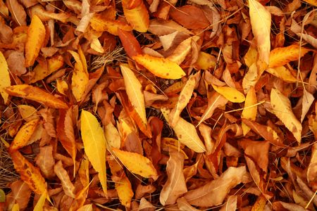 Autumn fallen down leaves of red color on a dry forest grass photo