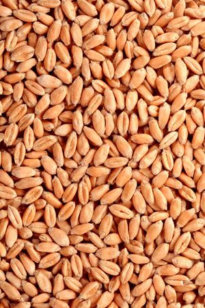 winter wheat: Grains of a winter wheat, background