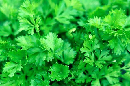 Fresh green leaves of a parsley, background Foto de archivo