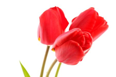 Bouquet of red tulips on a white background photo