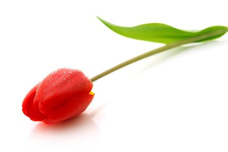 Red tulip with drops of dew on a white background Foto de archivo