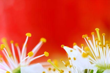 Cherry Blossom su sfondo rosso  Archivio Fotografico - 3109733
