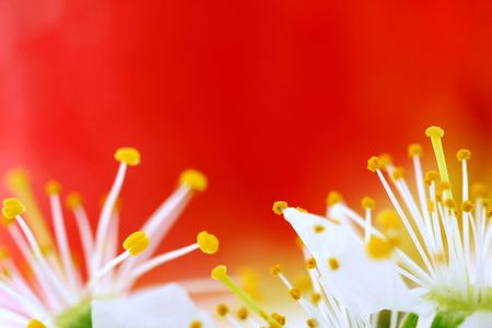 flor de cerezo sobre fondo rojo