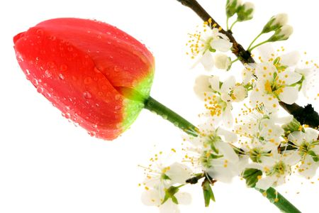 Cherry blossom and tulip on white background photo