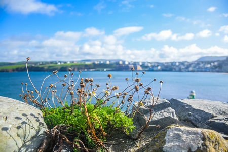 Small dried flower on the top  of Peel Castles wall with the view of coastline at the background, Isle of Man