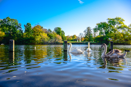 Swans swimming in the Serpentine lake in Hyde Park, London, United Kingdom