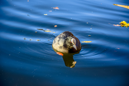 Duck swimming in the Serpentine lake in Hyde Park, London, United Kingdom Stock Photo