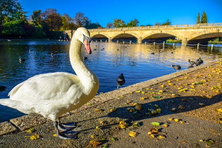 A swan standing by the Serpentine lake with the Serpentine Bridge in background in Hyde Park, London, United Kingdom
