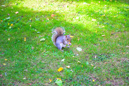 Cute squirrel running around and eating in in St James's Park, London, England, United Kingdom Stock Photo