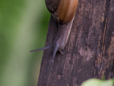 snail in helix shell slowly crawling on wood 스톡 콘텐츠