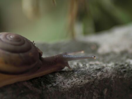 snail in helix shell slowly crawling