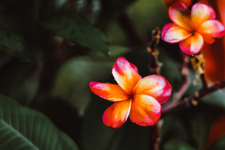 Plumeria Frangipani Hawai  flowers come in gorgeous rose-pink color brushed with bronze with green dark and black blur background fresh nature relax Stockfoto