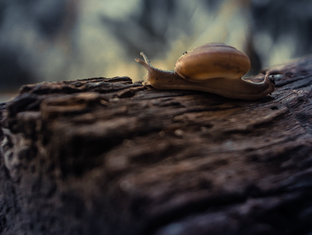 Snail close-up, macro  on old rustic wood nature forest blur background