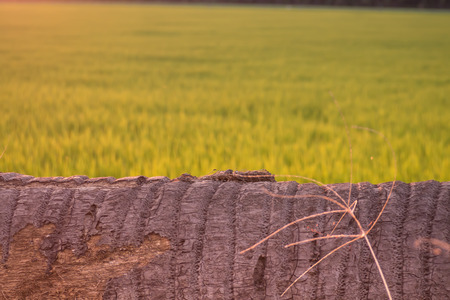 coconut tree lie down as bench nobody rice field blur background 스톡 콘텐츠