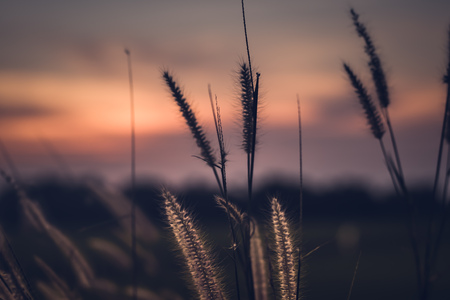 Macro image of wild grasses, small depth of field. Vintage effect. Beautiful rural nature Wild grasses at golden summer sunset vintage landscape background Stockfoto