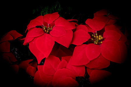 Closeup of red poinsettia flowers (Euphorbia pulcherrima) nature background