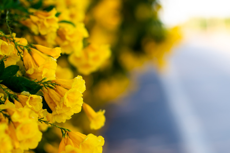 yellow blossom  flowers on the road  beautiful blur nature background