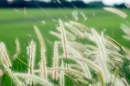 The field of tall wild grass nature background at beautiful blur green meadow Stockfoto