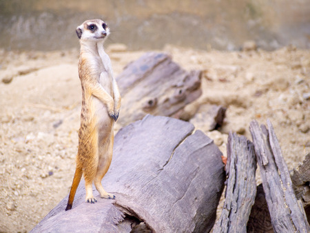 cute meerkat that small animal its standind to alert watching on a small timber that put on brown sand or soil ground  with blur nature background.