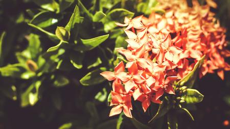 Beautiful Red spike flower. King Ixora blooming (Ixora chinensis). Rubiaceae flower. Ixora flower, Ixora coccinea flower in the garden.