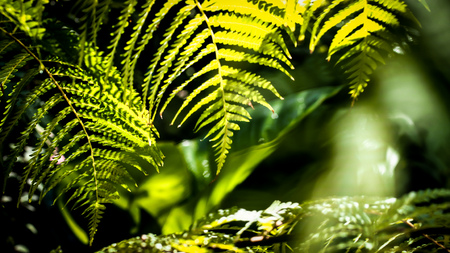Sunlight through Fern Green leaves pattern background, Natural background and wallpaper.