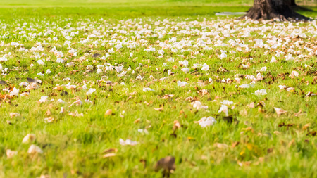 Close up of a garden lawn, green grass strewn with petals of a blooming cherry tree. Fallen concept idea.