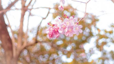 Beautiful pink spring blossom flowers on a tree branch soft focus blur nature background Reklamní fotografie