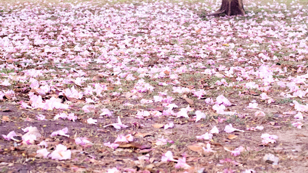 Romantic cherry blossom on nature background in spring season. Pink tone. Petal. Flower on ground. Environment and season concept