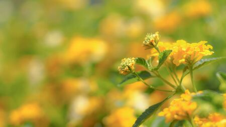 Leaves and yellow blossom flowers in summer. Botanical illustration composition of yellow flowers and wild herbs