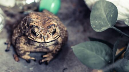 Toad Face portrait of large amphibian in the nature habitat. Animal in the tropic forest. Wildlife scene from nature.