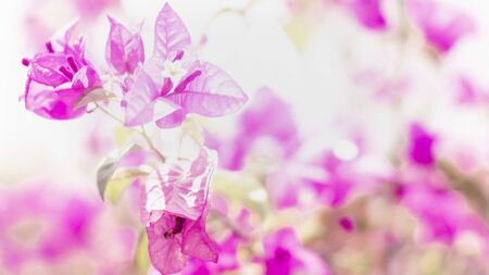 Blooming Pink Bougainvillea Flower branch.natural small pink flowers . Summer Spring lovely time. beginning concept