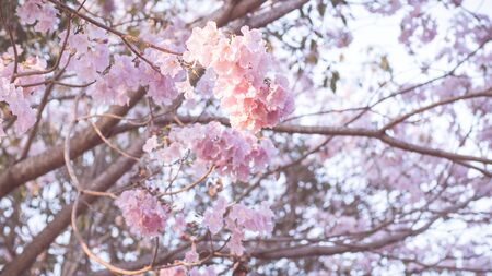 Beautiful pink flower look likes Sakura Flower or Cherry Blossom With Beautiful Nature Background . Spring flower tree blossom. The romantic of pink flower trees for valentine or wedding background