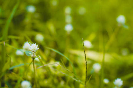 Selective focus Green grass and little white wild flowers meadow with soft style. Blossoming Tiny Wild White Flower Eriocaulaceae.