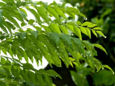 curry leaf with rain drops, Murraya koenigii