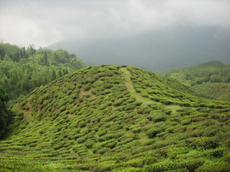 darjeeling: tea garden of Darjeeling west bengal india