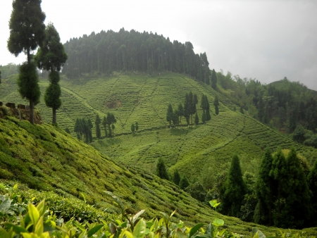 tea garden of Darjeeling west bengal india
