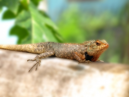 lizard in field: lagarto indio Foto de archivo